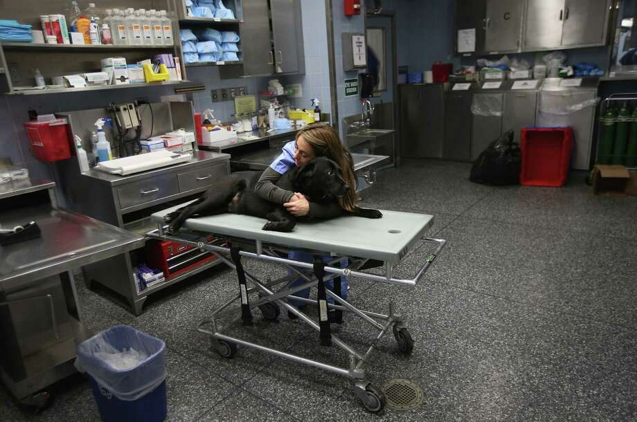 NEW YORK, NY - DECEMBER 10:  Anesthesiologist Patty Fontana calms Cody, who had been sedated to take x-rays of his hip, at the Animal Medical Center on December 10, 2012 in New York City. The non-profit Animal Medical Center, established in 1910, has 80 veterinarians in 17 specialty services that treat up to 40,000 animal visits annually. Clients bring in their pets from around the country and world to the teaching hospital on Manhattan's Upper East Side for specialized high tech treatment. The American Pet Products Association estimates that Americans would spend more than $50 billion on their pets in 2012, $14 billion of that in veterinary care alone. Photo: John Moore, Getty Images / 2012 Getty Images