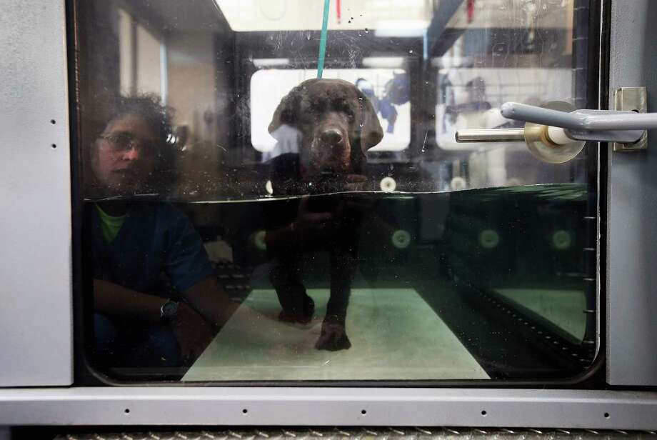 NEW YORK, NY - DECEMBER 12:  Abigail, a labrador belonging to Nancy and Henry Kissinger, walks through water on a submerged treadmill during a physical therapy session at the Animal Medical Center on December 12, 2012 in New York City. The non-profit Animal Medical Center, established in 1910, has 80 veterinarians in 17 specialty services that treat up to 40,000 animal visits annually. Clients bring in their pets from around the country and world to the teaching hospital on Manhattan's Upper East Side for specialized high tech treatment. The American Pet Products Association estimates that Americans would spend more than $50 billion on their pets in 2012, $14 billion of that in veterinary care alone. Photo: John Moore, Getty Images / 2012 Getty Images