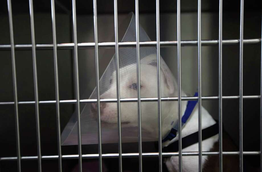 NEW YORK, NY - DECEMBER 12:  Pit bull puppy K.C. wears an E brace, so as to not reopen wounds from a car accident, at the Animal Medical Center on December 12, 2012 in New York City. The non-profit Animal Medical Center, established in 1910, has 80 veterinarians in 17 specialty services that treat up to 40,000 animal visits annually. Clients bring in their pets from around the country and world to the teaching hospital on Manhattan's Upper East Side for specialized high tech treatment. The American Pet Products Association estimates that Americans would spend more than $50 billion on their pets in 2012, $14 billion of that in veterinary care alone. Photo: John Moore, Getty Images / 2012 Getty Images