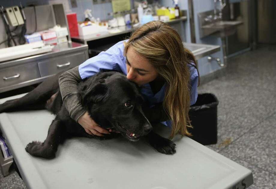 NEW YORK, NY - DECEMBER 10:  Anesthesiologist Patty Fontana calms Cody, who had been sedated to take x-rays of his hip at the Animal Medical Center on December 10, 2012 in New York City. The non-profit Animal Medical Center, established in 1910, has 80 veterinarians in 17 specialty services that treat up to 40,000 animal visits annually. Clients bring in their pets from around the country and world to the teaching hospital on Manhattan's Upper East Side for specialized high tech treatment. The American Pet Products Association estimates that Americans would spend more than $50 billion on their pets in 2012, $14 billion of that in veterinary care alone. Photo: John Moore, Getty Images / 2012 Getty Images