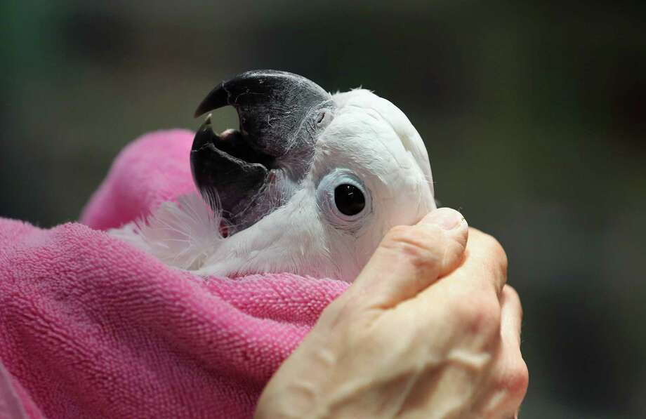 NEW YORK, NY - DECEMBER 12:  Zeek, a male cockatoo, awaits a botox injection to treat an abdominal condition at the Animal Medical Center on December 12, 2012 in New York City. The non-profit Animal Medical Center, established in 1910, has 80 veterinarians in 17 specialty services that treat up to 40,000 animal visits annually. Clients bring in their pets from around the country and world to the teaching hospital on Manhattan's Upper East Side for specialized high tech treatment. The American Pet Products Association estimates that Americans would spend more than $50 billion on their pets in 2012, $14 billion of that in veterinary care alone. Photo: John Moore, Getty Images / 2012 Getty Images