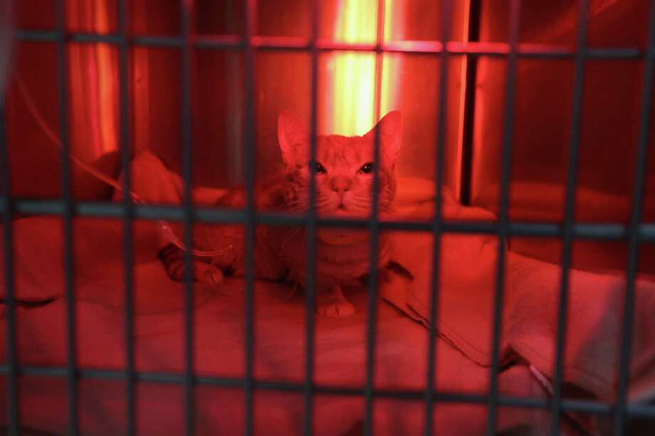 NEW YORK, NY - DECEMBER 10:  Milo sits under the glow of a heat lamp after having his decayed teeth removed by a veterinary dentist at the Animal Medical Center on December 10, 2012 in New York City. The non-profit Animal Medical Center, established in 1910, has 80 veterinarians in 17 specialty services that treat up to 40,000 animal visits annually. Clients bring in their pets from around the country and world to the teaching hospital on Manhattan's Upper East Side for specialized high tech treatment. The American Pet Products Association estimates that Americans would spend more than $50 billion on their pets in 2012, $14 billion of that in veterinary care alone. Photo: John Moore, Getty Images / 2012 Getty Images