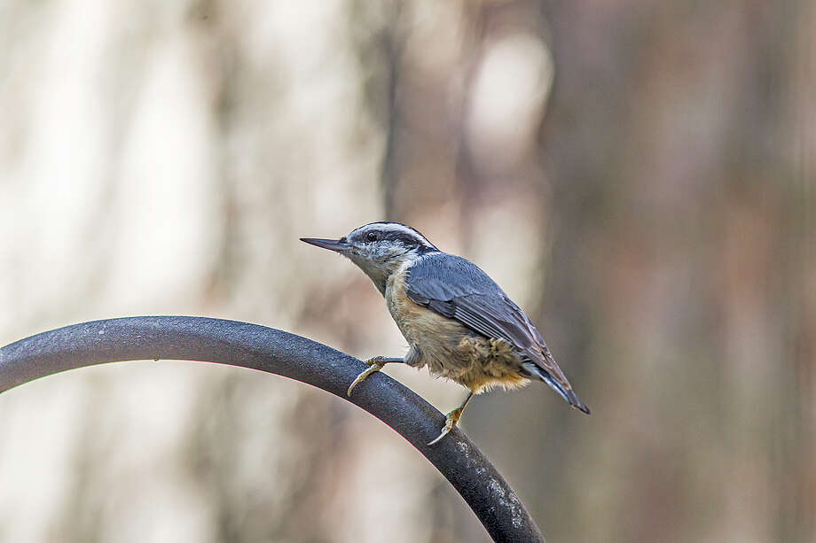 Red-breasted nuthatches are showing up in area backyards this winter.  The birds usually live to the north but have come this far south in search of food.  Backyard feeders filled with birdseed and suet attract the birds. Photo: Kathy Adams Clark / Kathy Adams Clark/KAC Productions