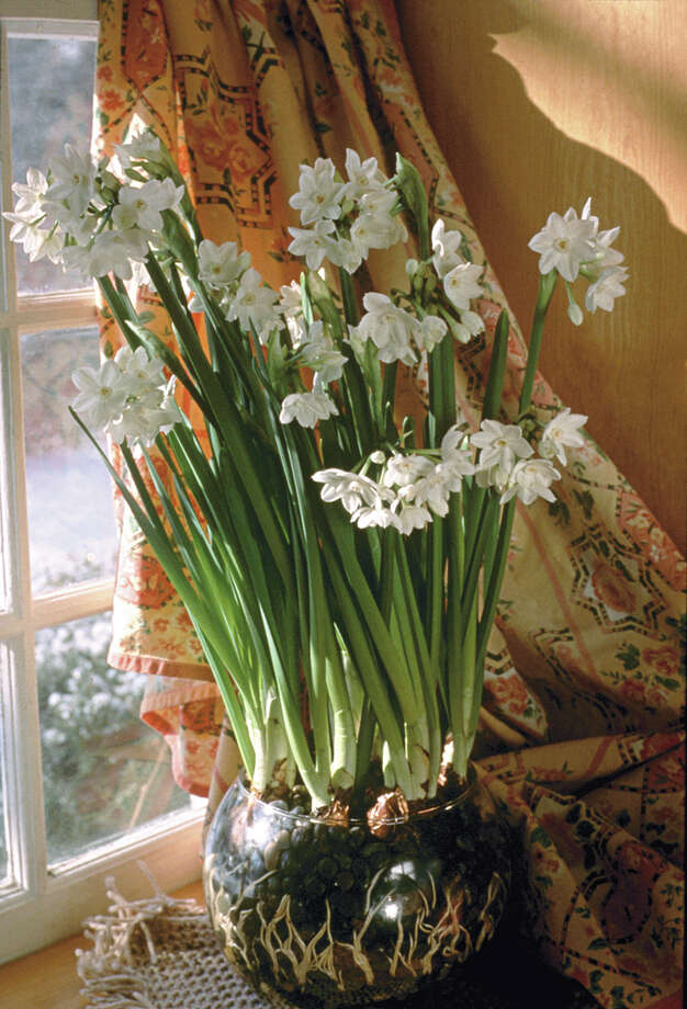 Start a pot of paperwhite narcissus.
