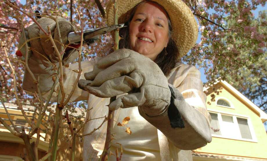 Long gauntlet gloves protect the arms when working with roses and other thorny plants. Photo: Colorado Springs Gazette / KRT