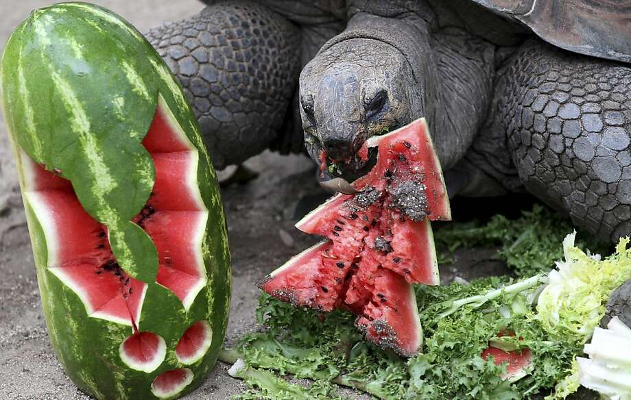I'm in no rush: For a holiday treat, Sydney's Taronga Zoo gave 