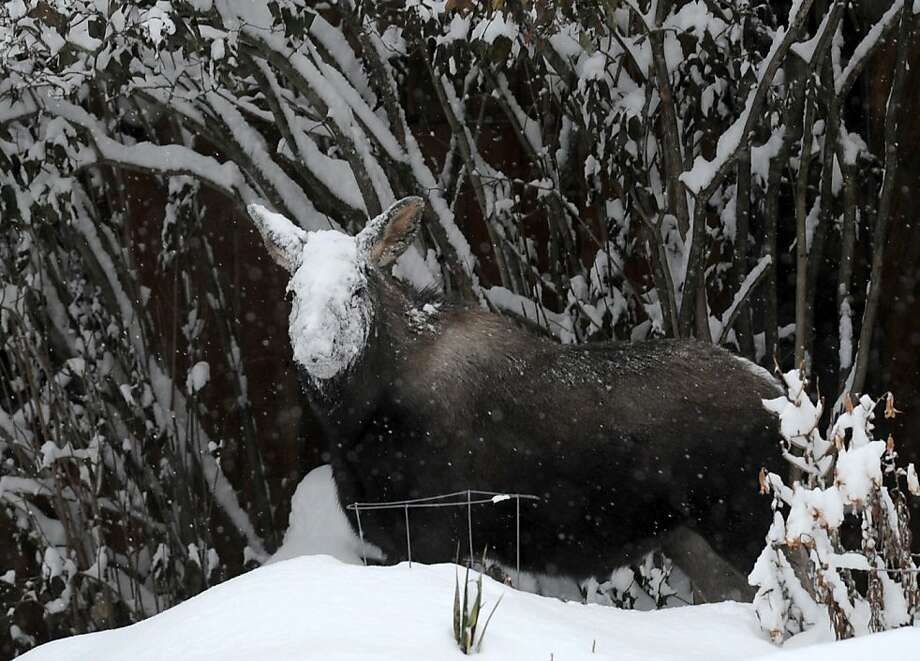 Feeling all right, Ms. Moose?You're looking a little pale. (Anchorage.) Photo: Erik Hill, Associated Press