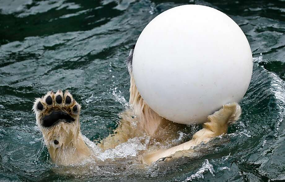 Especially when the ball is a weather balloon: Even a seasoned swimmer like Sprinter has trouble mastering water polo. (Hanover Zoo, Germany.) Photo: Peter Steffen, AFP/Getty Images