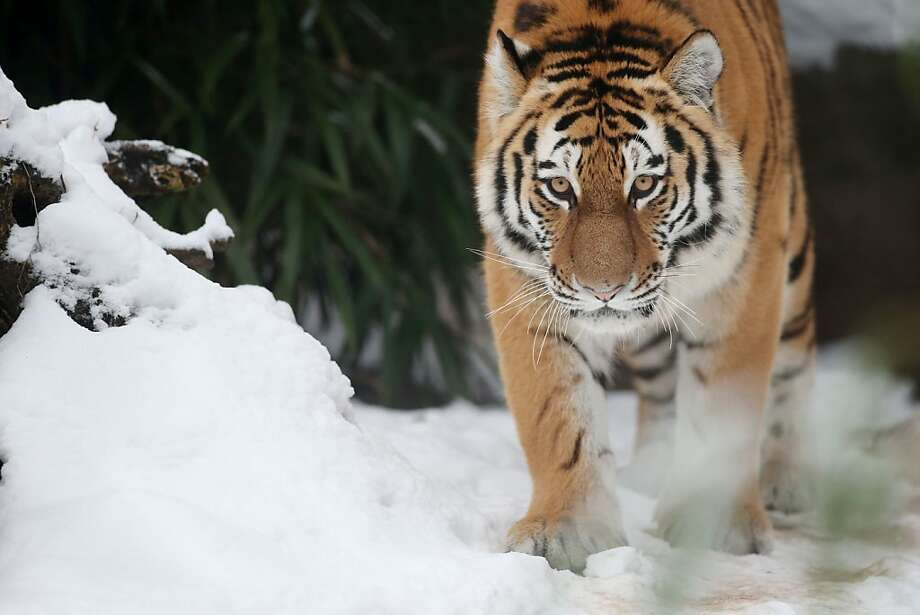 Tiger tracks: Snow at the Hagenbeck Zoo in Hamburg, Germany, makes a Siberian feel right at home. Photo: Malte Christians, AFP/Getty Images