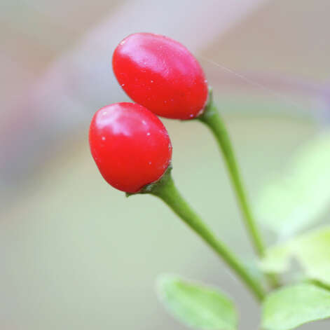 Wild chile plants decorated with bright red berries like these lend a Christmas theme to the Texas landscape. Photo: Forrest Mims III / ALL RIGHTS RESERVED.
