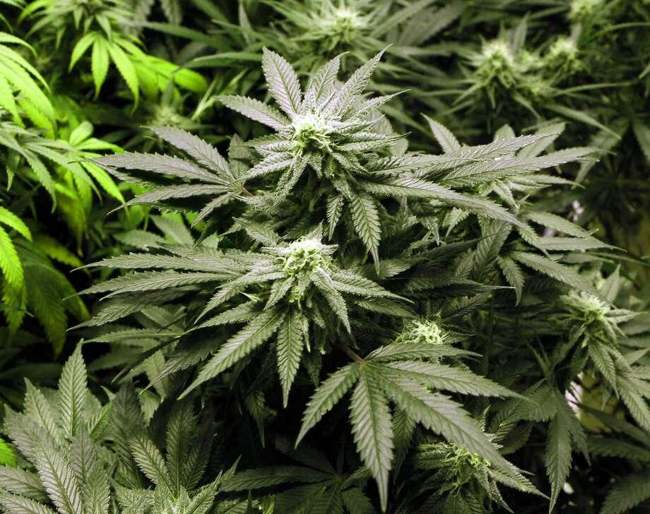 This Nov. 8, 2012 file photo shows marijuana plants flourishing under the lights at a grow house in Denver. Photo: Ed Andrieski, Associated Press