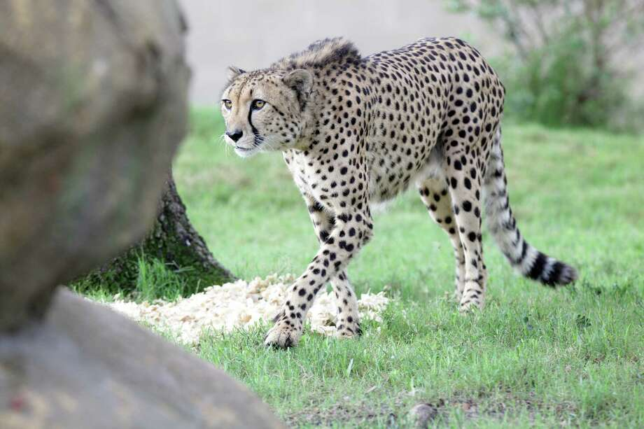 A cheetah continues to search for scattered food in their exhibit at the Houston Zoo on Wednesday, July 18, 2012, in Houston. Photo: Mayra Beltran, Houston Chronicle / © 2012 Houston Chronicle