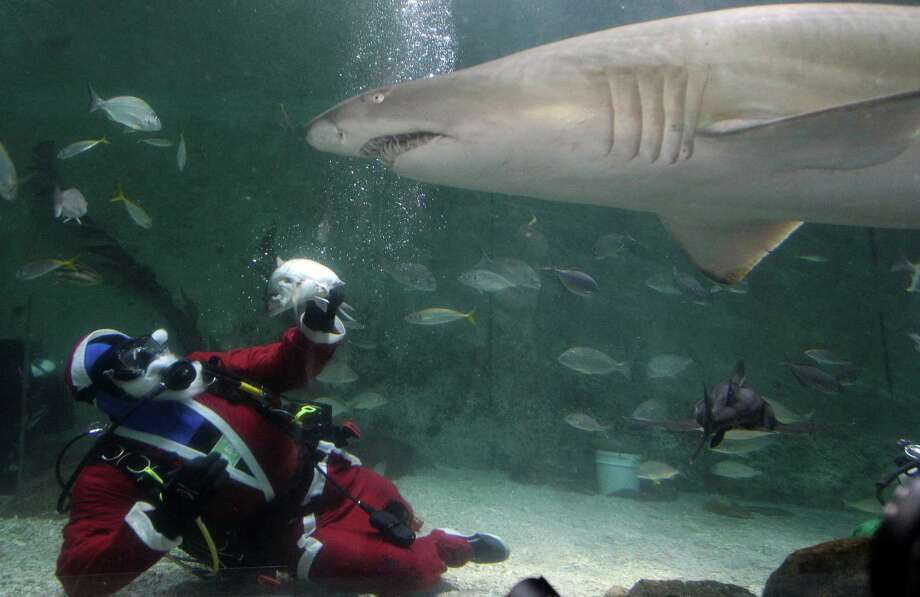A diver dressed as Santa Claus feeds sharks at Manly Sea Life Sanctuary in Sydney, Australia, Friday, Dec. 14, 2012. Photo: Rob Griffith, Associated Press / AP