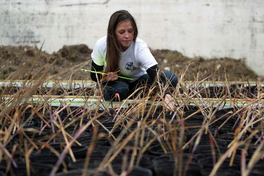 Nicki Laverty, with the Artist Boat organization, inspects grasses to be planted from 23rd to 27th Street and 54th to 61st Street to prevent erosion. Photo: Johnny Hanson, Staff / © 2012  Houston Chronicle