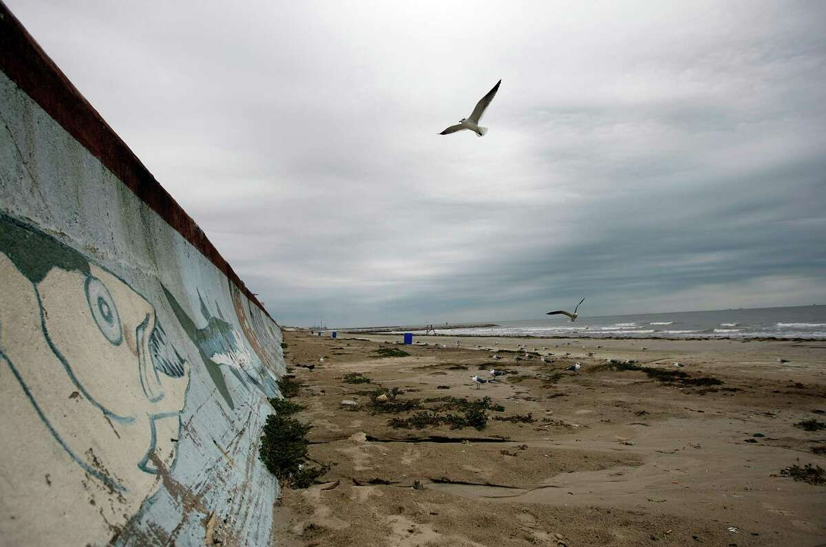 Seagulls fly over 61st Street Beach where bitter panicum, also known as running beachgrass, that will be planted along to prevent beach erosion from 23rd to 27th Street and 54th to 61st Street Monday, Dec. 10, 2012, in Galveston.