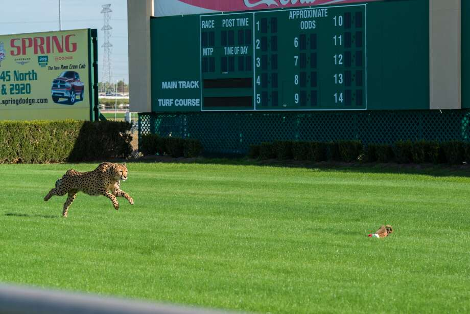 A cheetah at full sprint at Sam Houston Race Park. (Houston Zoo)