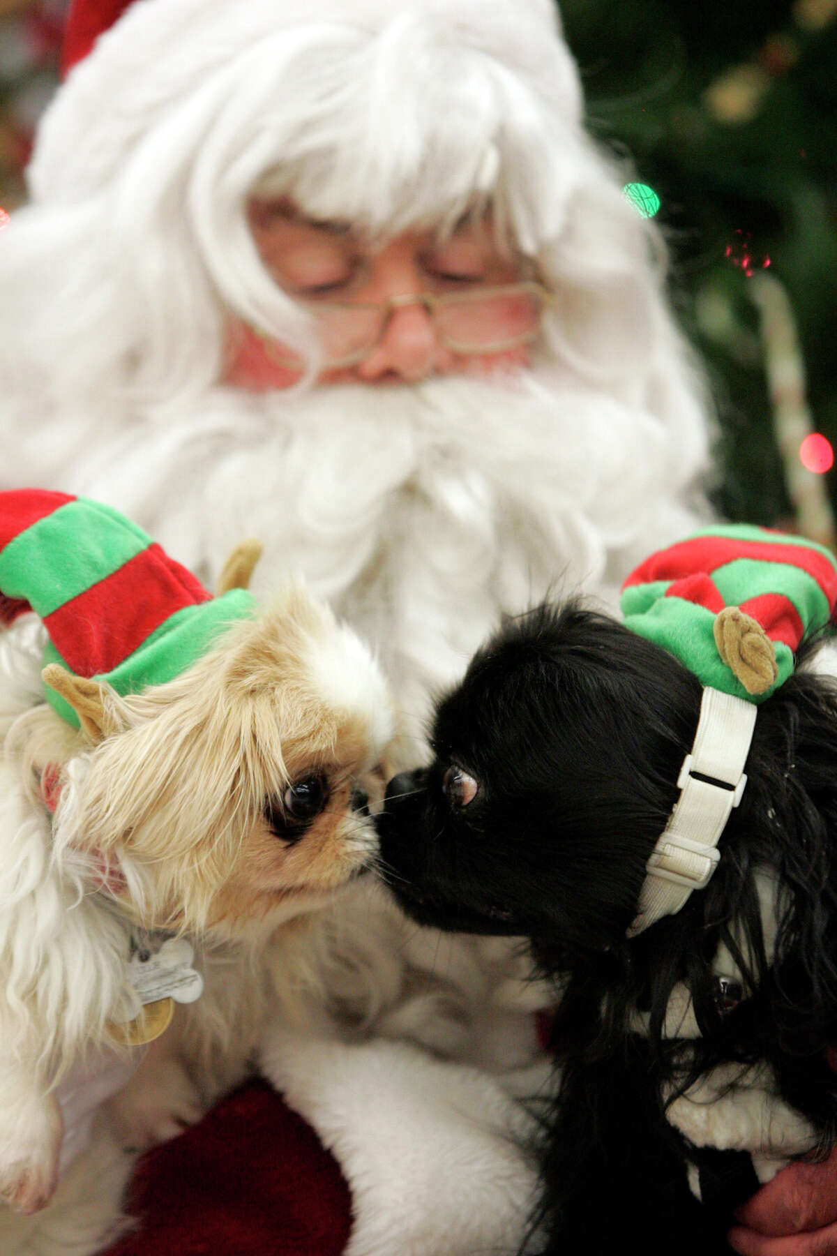 Lily and Ernie give each other a little kiss as they get ready to have their photos taken with Santa during the LaPorte County Small Animal Shelter's 21st annual Pet Photos with Santa, Saturday, Dec. 15, 2012, in LaPorte, Ind.