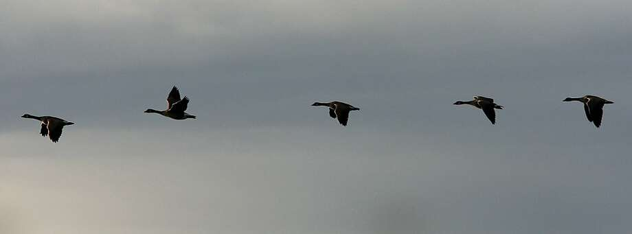 Canada geese fly past a bird sanctuary in Alameda during the bird count. Photo: Brant Ward, The Chronicle