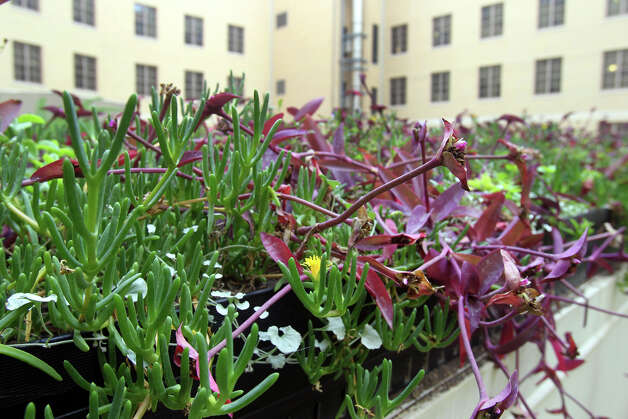 "A closer look at the plant life on the vegetated ""green"" roof of the Hipolito F. Garcia Federal Building reveals a diversity of plant matter that helps reduce heat in the light court area of the building's roof. Photo: JOHN DAVENPORT, San Antonio Express-News / ©San Antonio Express-News/Photo Can Be Sold to the Public"