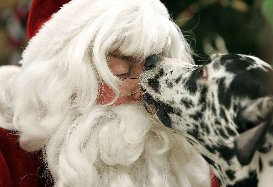 Please forgive me:After Santa scolds Diva for not sitting still for their photo, the Great Dane gives the jolly old elf an apologetic nose lick. (LaPorte [Ind.] County Small Animal Shelter's Pet Photos with Santa event.) Photo: Bob Wellinski, Associated Press
