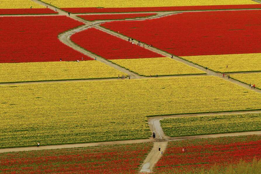 April 22, 2012 — Visitors walk through tulip fields during the Skagit Valley Tulip Festival
