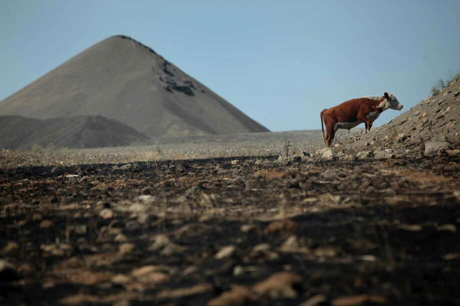 August 15, 2012— A cow searches for grass to eat in a rock quarry, one of the few areas not burned, near Bettas Road along Highway 97. The Taylor Bridge Fire pushed through neighborhoods and rural areas, destroying 61 homes and likely killing hundreds of cattle. Range used by cattle was also damaged as the grass burned up in the inferno. Photo: JOSHUA TRUJILLO / SEATTLEPI.COM