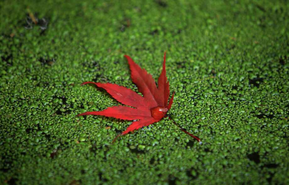October 24, 2012— A leaf rests on duck weed in a pond at the Washington Park Arboretum. Photo: JOSHUA TRUJILLO / SEATTLEPI.COM