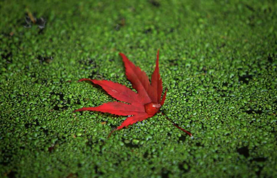October 24, 2012 — A leaf rests on duck weed in a pond at the Washington Park Arboretum.