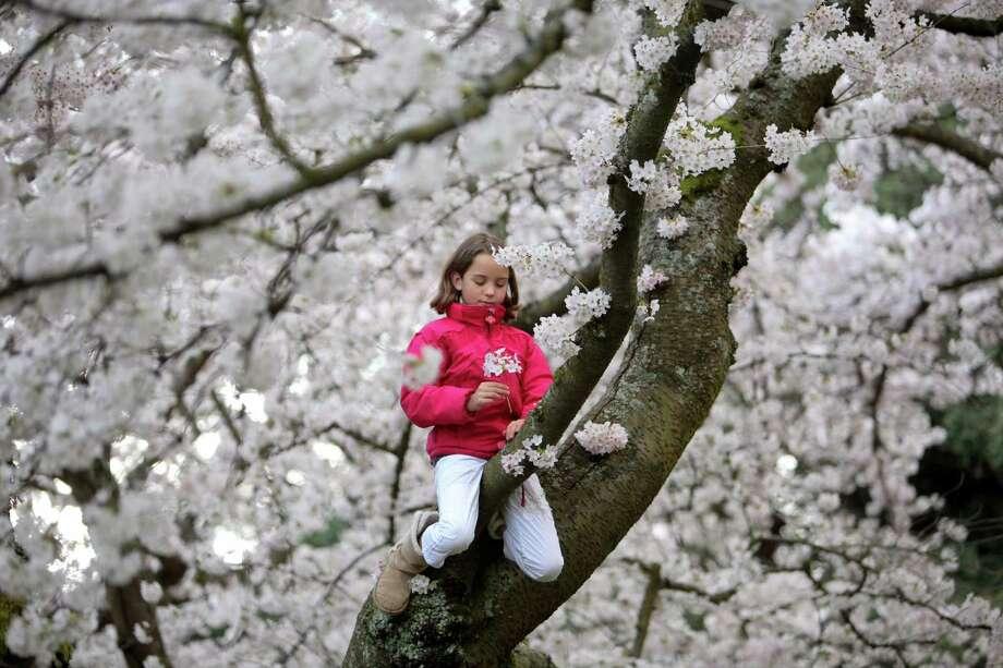 April 4, 2012— Nya Uberman-Gillon, 9, of Olympia climbs a Yoshino cherry tree as the trees blossom on the University of Washington campus in Seattle. Photo: JOSHUA TRUJILLO / SEATTLEPI.COM