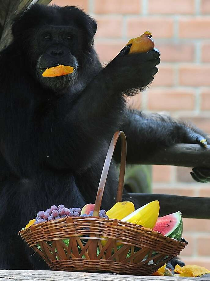 Greetings, Don Corleone: Paulinho munches fruit from her Christmas basket at the Rio de Janeiro Zoo. Photo: Vanderlei Almeida, AFP/Getty Images