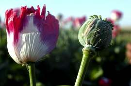 A flowering poppy, left, stands next to a poppy without petals and slit to allow the natural Opium to ooze out for collection in the small village of Essazai Kili 15km south of Lashkar Gah, Afghanistan, Tuesday, April 9, 2002.  This field is one of the first in the Helmand province to flower and should be normally ready to harvest in two weeks, but the farmer has started to harvest early to try and avoid the government destroying his crop. (AP Photo/Adam Butler) Ran on: 12-17-2006 The opium poppy is a cash crop for Afghanistan's farmers.