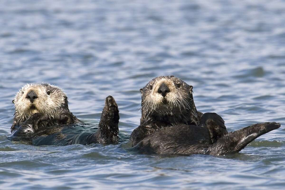 Two sea otters float on their back near Moss Landing, Calif., in the spring of 2009. A spring census of the California coast brings bad news about the threatened sea otter population. Only about 2,800 could be found along the 375-mile territory, the first drop in numbers since the late 1990s, according to a three-year running average released Tuesday.