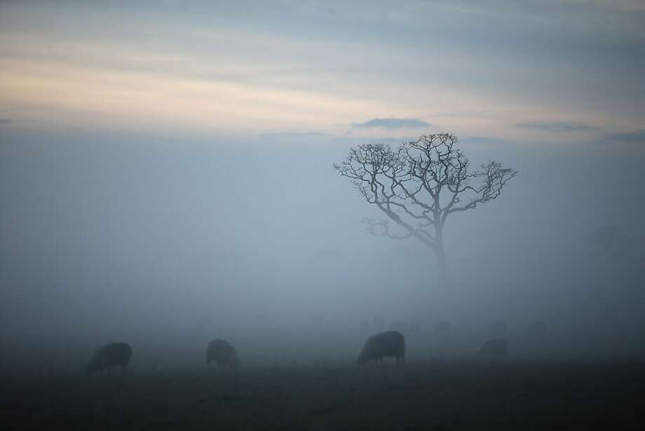 Sheep graze in a field as Winter mist envelopes the Cheshire countryside on December 18, 2012 in Northwich, England. Mist and fog are created by the fast cooling of warm air which then creates condensation of minute water droplets suspended in the air. Photo: Christopher Furlong, Getty Images