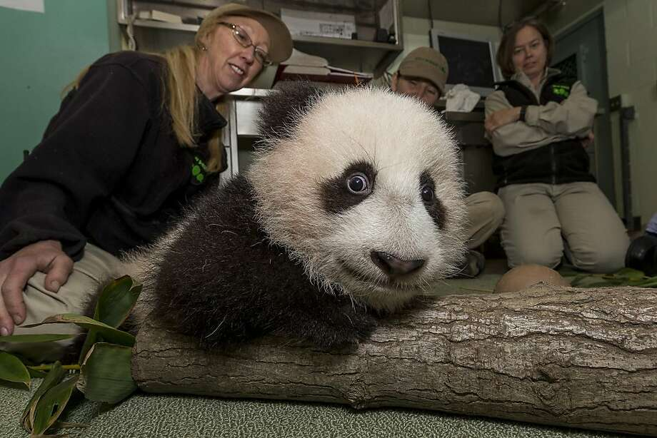 The copays are killing me! Xiao Liwu, only 19 weeks old, undergoes his 17th physical at the San Diego Zoo veterinarian's office, whose waiting room has been redecorated in an arboreal motif. Photo: Ken Bohn, AFP/Getty Images