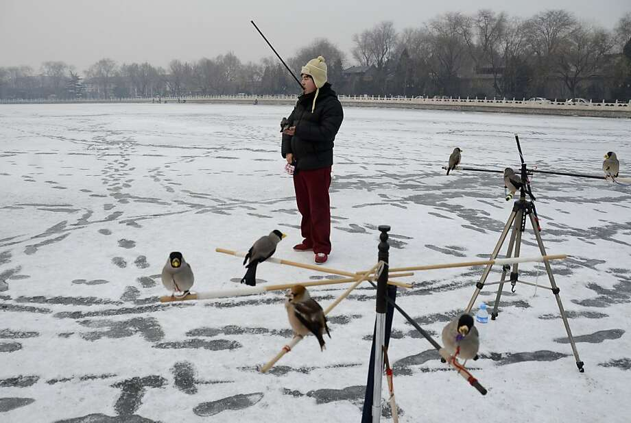 The Bird Man of Beijing plays with his trained pets on a frozen lake in the Chinese capital. Photo: Wang Zhao, AFP/Getty Images