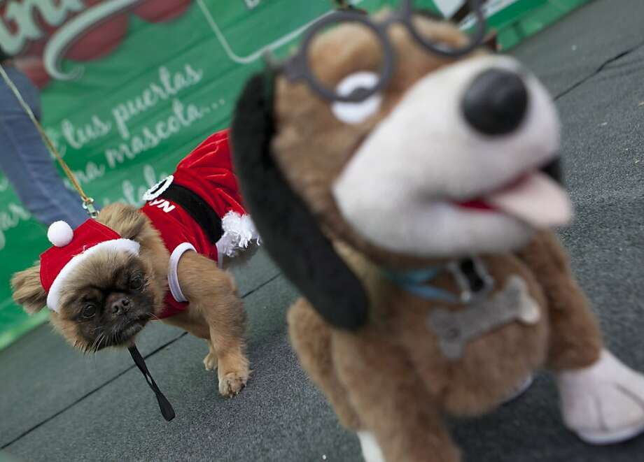 They stuffed him! The poor bastard:A festive Fido observes a plushy puppy at a canine Christmas costume contest in Lima, Peru. Photo: Martin Mejia, Associated Press