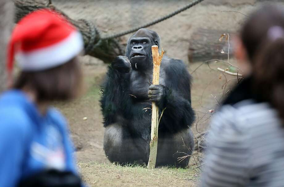 Anybody want to see me use this as a tool? I'm in an evolving mood today: Assumbo accosts his public from inside his enclosure at the Darwineum Zoo in Rostock, Germany. Photo: Bernd Wuestneck, AFP/Getty Images