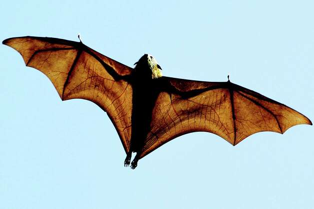 "In ""Spillover,"" David Quammen writes about diseases that move from animal to human populations, often with deadly results. Scientists have linked three viruses ? SARS, Nipah and Hendra ? to bats. Photo: GREG WOOD, Staff / AFP"