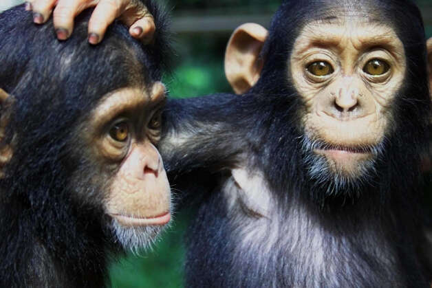HIV passed from a chimp to a human early in the last century, author David Quammen said. Photo: BORIS HEGER, STR / AP
