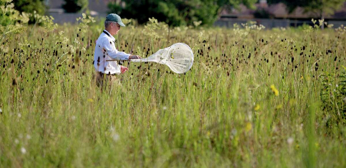 8/10/12: Don Verser, a volunteer with the Houston Audubon and Nature Discovery in Bellaire, sweeps for bugs at the College Park Prairie in Deer Park, Texas. Last year, in Deer Park of all places, prairie hunters discovered the College Park Prairie -- 53 acres of pristine grassland, a rare surviving piece of the ecosystem that once dominated our area, full of plants that make naturalists swoon. And as soon as the prairie hunters found it, they prepared to say goodbye: In only a few months, a developer planned to bulldoze the prairie to build suburban housing, and the land's cost seemed far out of conservationists' reach. Now, though, they hope to save it. For the Chronicle: Thomas B. Shea