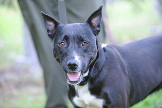 Merrit is a female, 3-4-year-old, mixed-breed dog. She is believed to have been dumped near the Merritt Parkway, where animal control tracked her for days. She was very scared when she was found, but now is very sweet dog and likes to be close to people. Merritt, along with other cats and dogs, is available for adoption at Greenwich Animal Control, 393 North St. Facility hours are 7:30 a.m. to 3 p.m. The phone number is 203-622-8299. Call ahead first. Photo: Helen Neafsey / Greenwich Time