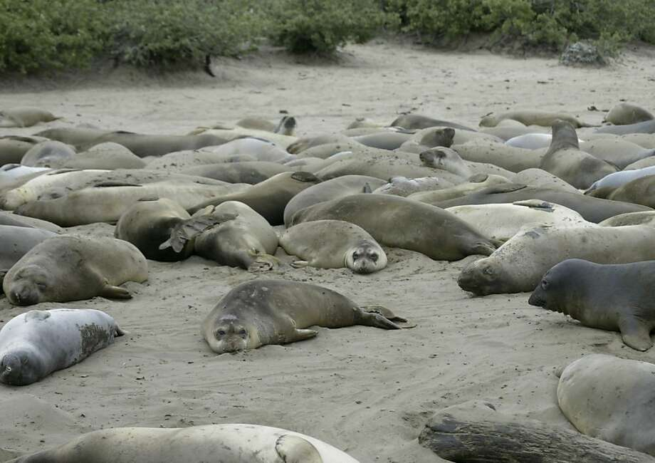 Elephant seals lounge on the beaches of Ano Nuevo State Reserve north of Santa Cruz, site of the largest mainland breeding colony in the world for the northern elephant seal. Photo: Michael Maloney, SFC