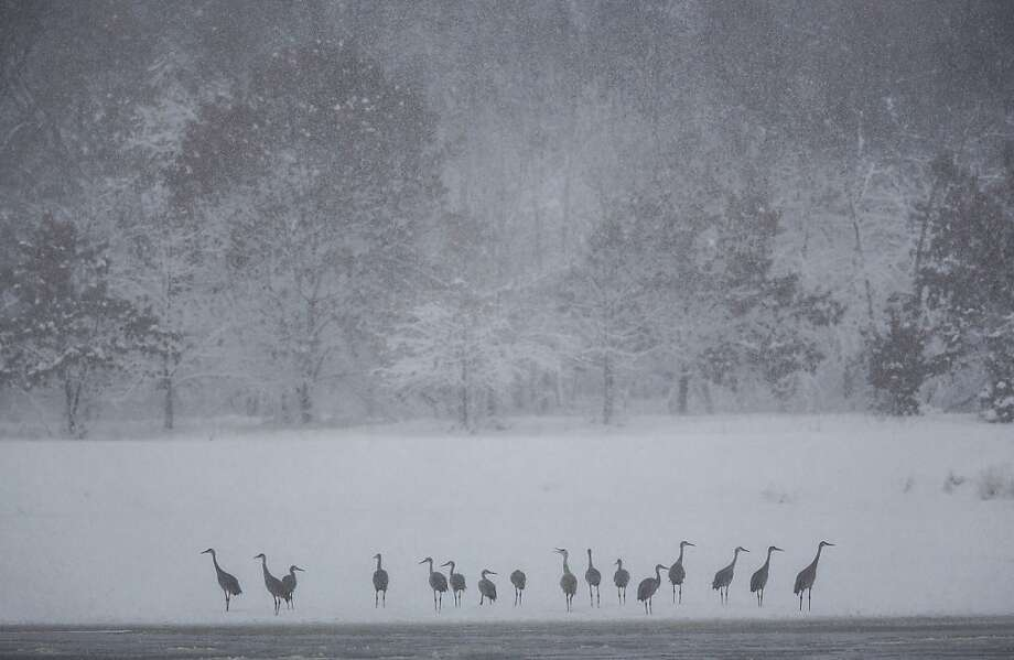 Sandhill Cranes ride out the storm on the banks of the Wisconsin River December 20, 2012 in Baraboo, Wisconsin. The State Patrol had warned motorists to stay home as a paralyzing winter storm bore down on Wisconsin, the first significant snowstorm to hit southern Wisconsin in two winters. Photo: Tom Lynn, Getty Images