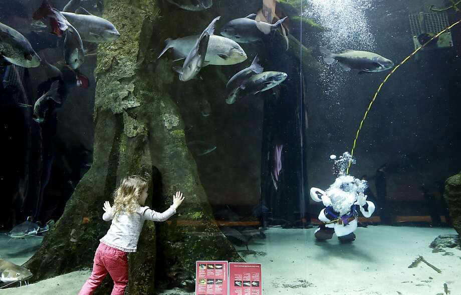 Riley Hunt, 2, watches as diver George Bell, dressed as Santa Claus, swims in the 100,000 gallon Amazon Flooded Forest tank as part of the 'Tis the Season for Science holiday exhibit at the California Academy of Sciences in San Francisco, Thursday, Dec. 20, 2012. Photo: Jeff Chiu, Associated Press