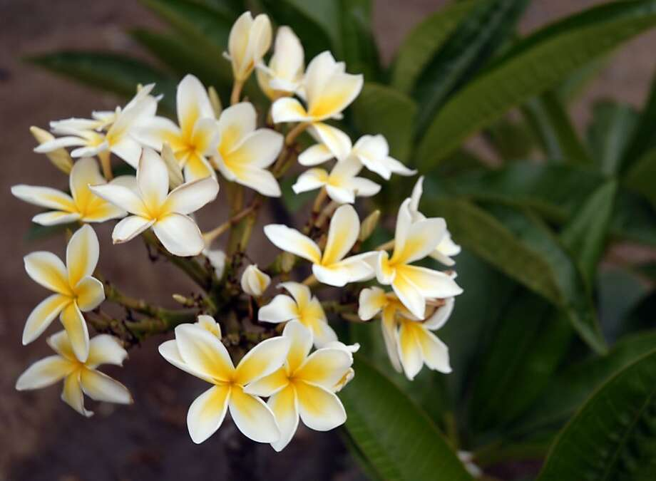 While tropical plumeria can't grow outdoors in our region, with some careful attention it stands a good chance as a houseplant. Photo: Pam Peirce