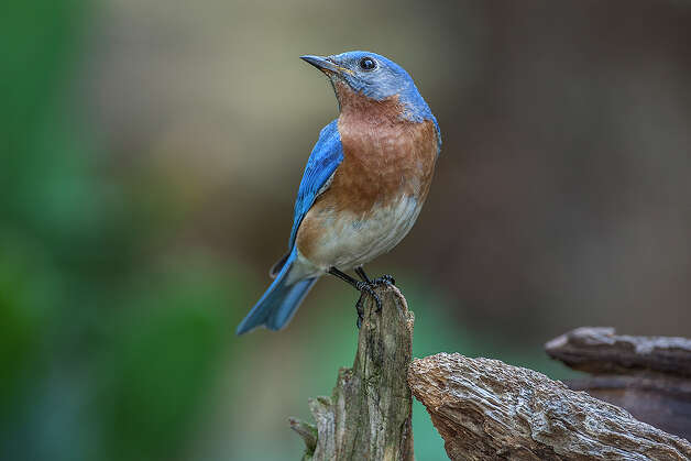 Eastern bluebird populations in the state are showing a dramatic upswing. Open space created by the drought and wildfires of past years has opened up habitat for the birds. Photo: Kathy Adams Clark / Kathy Adams Clark/KAC Productions