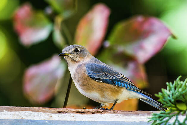 Eastern bluebird populations in the state are showling a dramatic upswing.  Bluebird nestboxes in Texas and the eastern United States have given the cavity nesters a place to raise babies.    Photo Credit:  Kathy Adams Clark.  Restricted use. Photo: Kathy Adams Clark / Kathy Adams Clark/KAC Productions