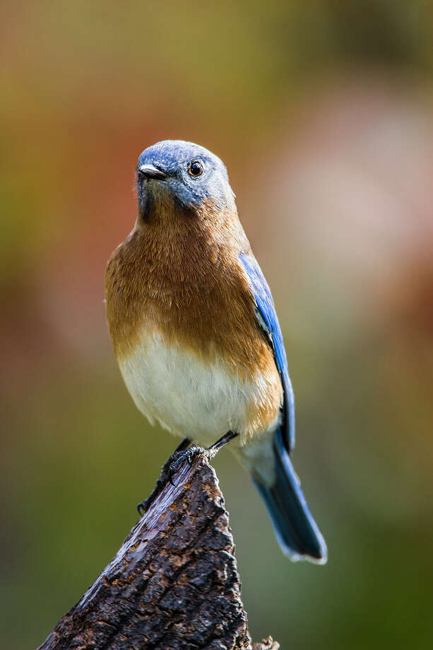 Eastern bluebirds bring a lot of cheer this time of year to nature lovers. Photo: Kathy Adams Clark / Kathy Adams Clark/KAC Productions