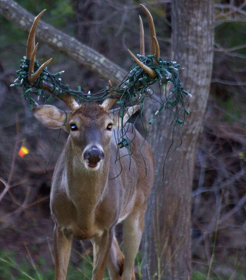 "A deer with a string of Christmas lights stuck on its antlers is seen in a picture taken by north San Antonio resident Tim Holder a few weeks ago near his home. Kathleen Stuman, a Bexar County-based Texas Parks and Wildlife Game Warden, said she has seen the deer and the lights don't appear to be causing the animal any harm. The lights will most likely fall off when the deer sheds its antlers in the  spring, she said. Though this deer is suffering nothing more than a little embarrassment akin to Rudolph's red nose, Stuman said residents on the fringes of the city should be cautious when placing objects like Christmas decorations, toys and patio furniture in their yards as it is not uncommen for game wardends to see deer in distress. ""I've had one (deer) running down the street with a whole kids soccer net, with the poles and everything,"" Stuman said of a deer that was not as lucky as this one. Photo: Tim Holder, San Antonio Express-News / Tim Holder"