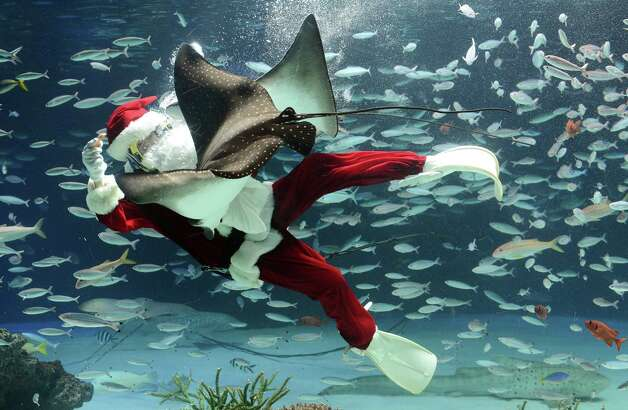 A diver wearing a Santa Claus costume feeds fish at Sunshrie Aquarium in Tokyo on December 21, 2012. The aquarium is holding the Christmas show twice daily until December 25 to attract visitors. Photo: TORU YAMANAKA, AFP/Getty Images / AFP